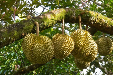 Fresh durian on its tree, king of tropical fruit