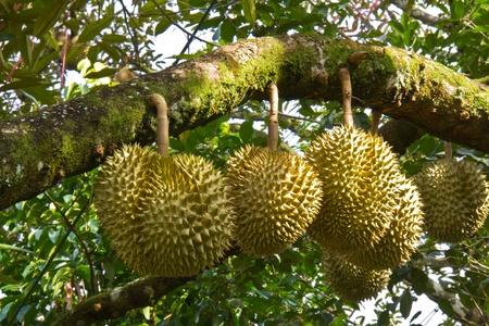 Verse durian op haar boom, de koning van tropische vruchten