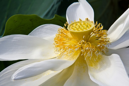 Young yellow lotus seed Stock Photo