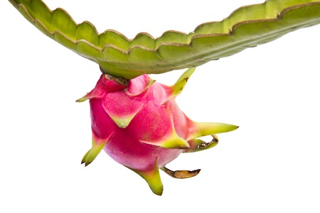 red dragon: Dragon fruit on its tree isolated on white background
