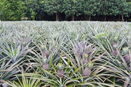 Jonge ananassen in het veld in de voorkant van de rubberboom veld Stockfoto