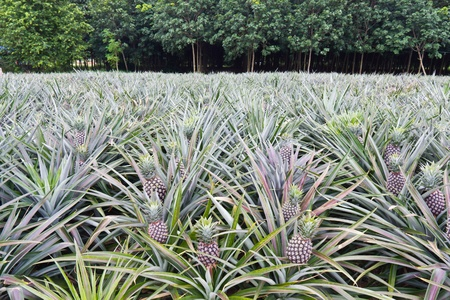 Young pineapples in the field in front of the rubber tree field