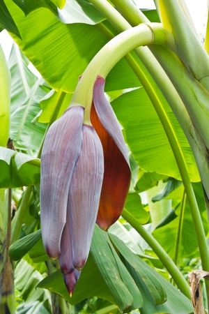 Close-up of banana flower before appearance of its fruit photo