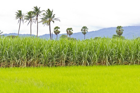 Sugarcane field next to rice field in cloudy sky Stock Photo - 10891879