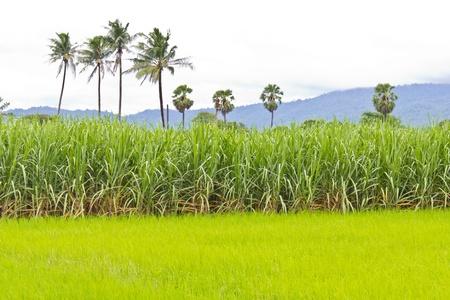 Sugarcane veld naast rijst veld in bewolkte hemel Stockfoto