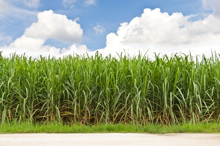 sugarcane: Sugarcane field in blue sky and white cloud in Thailand Stock Photo