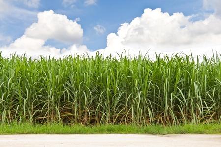 Suikerriet veld in blauwe lucht en witte wolk in Thailand