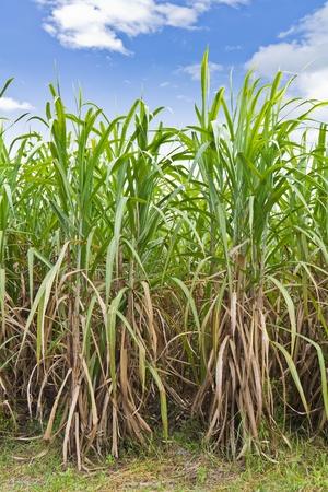Suikerriet veld in blauwe hemel en witte wolk in Thailand