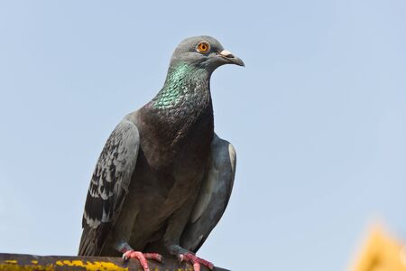 coo: A grey pigeon sitting on the old street fence