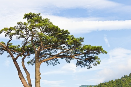 Japanese pine tree and cloudy sky, Japan photo