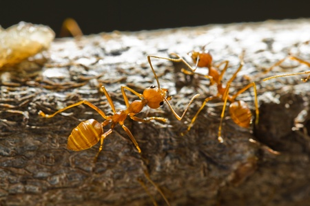 Close up of red weaver ant, top view photo