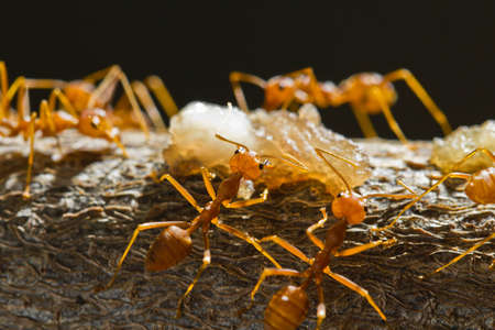 Red weaver ants find and move around their food