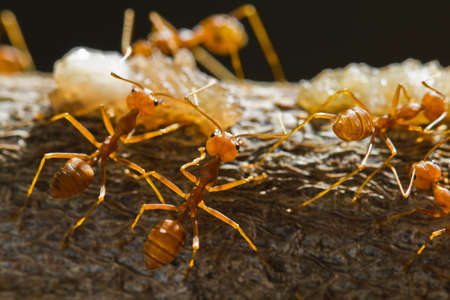 Red weaver ants find and move around their food photo