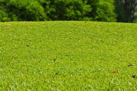 hillock: Grassy hillock beside the golf green, green grass texture