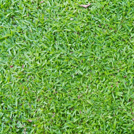 Natural outdoor green grass  broadleaf carpet grass  texture in the shade, square cropped Stock Photo
