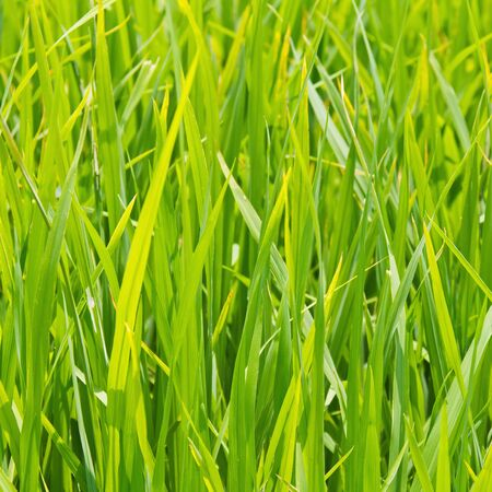 Close up of green rice leaves in the paddy, Thailand, square cropped photo