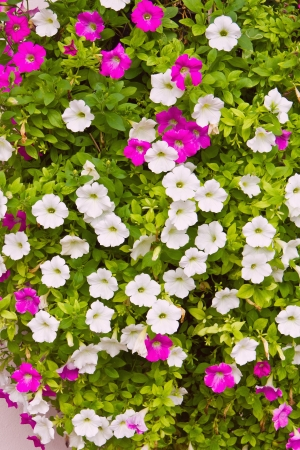 trailing: Pink and white petunia trailing flower in full bloom