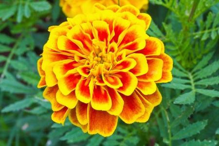 Top view of French marigold flower  Tagetes patula L   photo