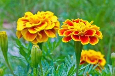 patula: Close up of French marigold flower  Tagetes patula L   Stock Photo