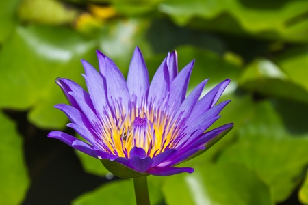 Close up of purple lotus flower in the pond photo