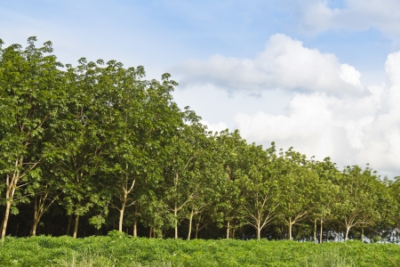 Rubber trees afforestation next to the cassava field, Thailand Stock Photo