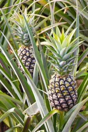 pi�as: Los frutos verdes de pi�a en el campo, Tailandia Foto de archivo