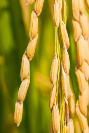 Close up of ripe rice in the paddy, Thailand photo