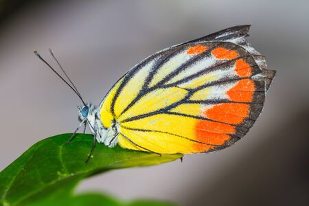 forewing: Close up of colorful butterfly on green leaf Stock Photo