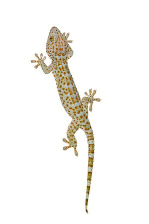 bugaboo: Tokay gecko in roaming sulla parete, isolato su sfondo bianco Archivio Fotografico
