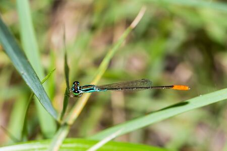 elongated: Close up of colorful damselfly with green eyes, blue body and orange tail Stock Photo