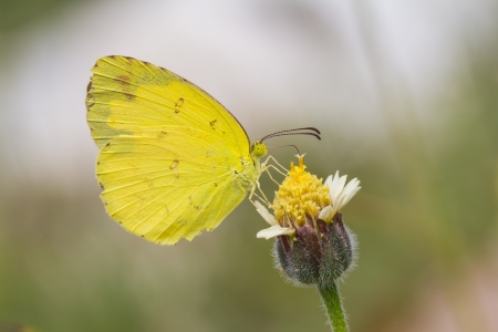 forewing: Small grass yellow  Eurema brigitta  butterfly feeding on flower