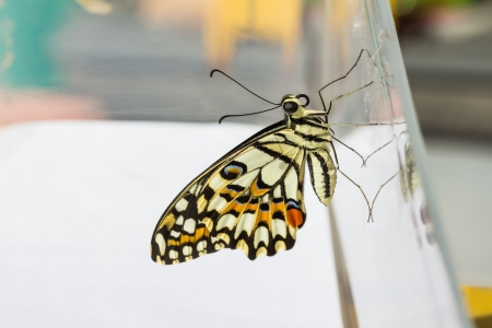forewing: Newly born  complete metamorphosis  lime butterfly clinging on transparent plastic box Stock Photo