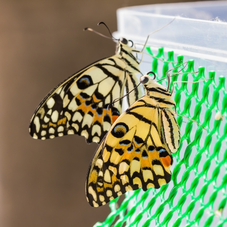 Newly born lime butterfly clinging on green plastic net, square cropped Stock Photo - 17153896