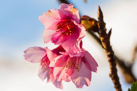 Close up of beautiful peach flowers against blue sky photo