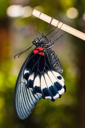 Close up of newly born  complete metamorphosis  great mormon butterfly clinging on stick Stock Photo - 17277904