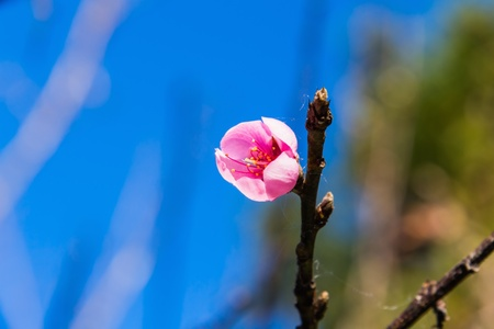 Close up of Wild Himalayan cherry  Prunus cerasoides  flower against blue sky Stock Photo - 17277913