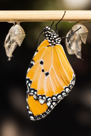 clinging: Close up of newly emerged Plain Tiger butterfly clinging beside its pupal case