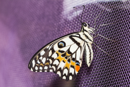 butterfly tail: Close up of lime butterfly clinging on purple net Stock Photo