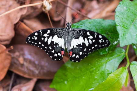 Close up of back side of the lime butterfly sunbathing on leaves on the ground Stock Photo - 17526400