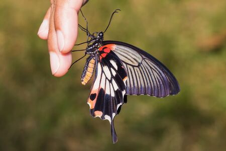 Close up of great mormon butterfly clinging on fingers in the garden photo