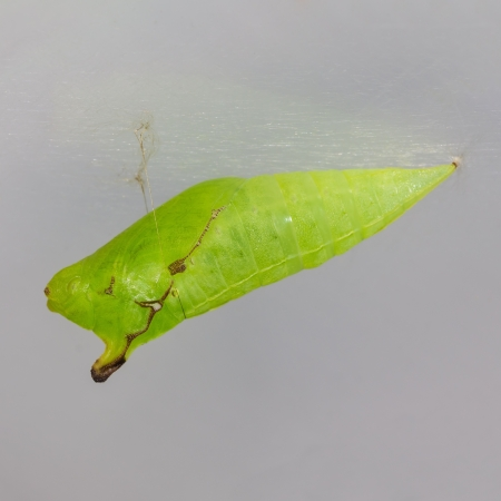 Close up of pupa of Tailed Jay butterfly hanging on its thread, square cropped photo