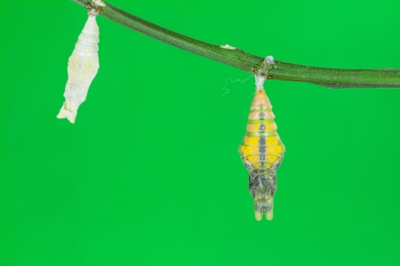 pupae: Mature pupa of great mormon butterfly, just before its emerging, green background