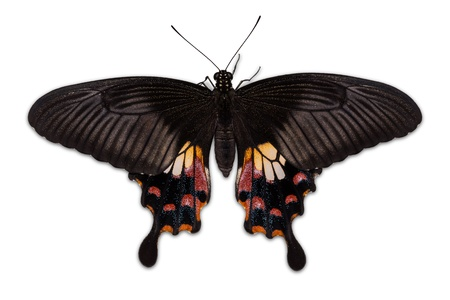 Close up of back side of female Common Mormon butterfly, isolated on white background, with clipping path photo
