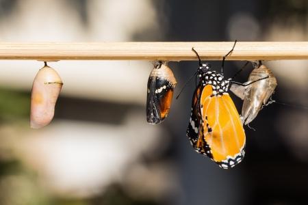 Close-up van nieuw opgedoken Plain Tiger vlinder vastklampen naast zijn popstadium case en een volwassen pop en een jonge pop