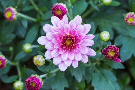 Close up of purple Chrysanthemums blossoms in the garden photo