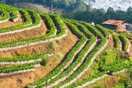Strawberry plantation on slope of hill in Chiangmai, Thailand photo