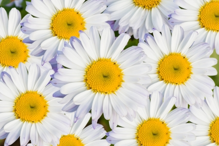 White daisy flower with white petals and yellow disc, background photo