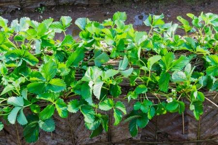 Strawberry plantation in Chiangmai, Thailand photo