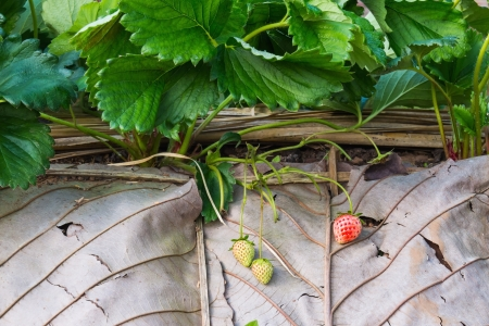 Strawberry plantation, focusing on strawberry fruits, one ripe fruit and two young fruits photo