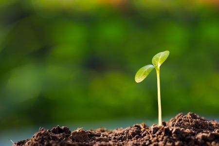 Green sprout growing from ground, new or start or beginning concept Stock Photo